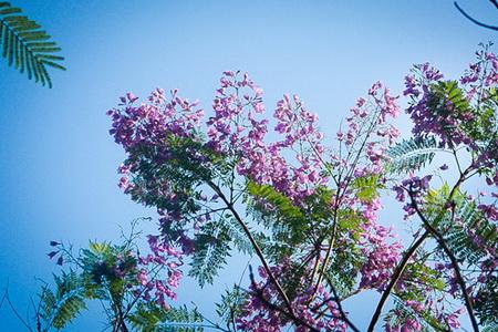 Phượng tím có nhiều tại thành phố Đà Lạt