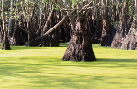 Gốc tràm cổ thụ tại rừng Trà Sư
