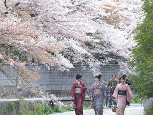 Lễ hội hoa Hanami - Nhật Bản