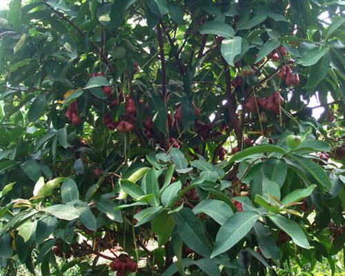 Vườn cây ăn trái - iVIVU.com