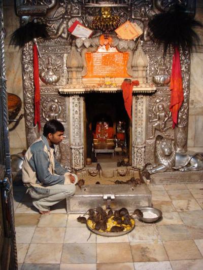 Chuột ở đền đền Karni Mata - iVIVU.com