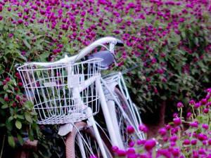 Du lịch Hà Nội - mùa hoa cuc bách nhật - iVIVU.com
