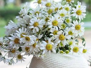 Du lịch Hà Nội - mùa hoa daisy - iVIVU.com