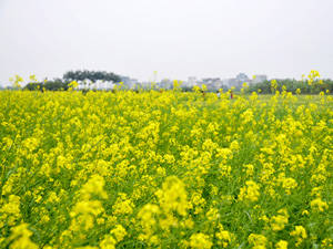 Du lịch Hà Nội - mua hoa cải - iVIVU.com