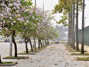 Du lịch Hà Nội - hoa ban - iVIVU.com