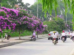 Du lịch Hà Nội - hoa bằng lăng - iVIVU.com