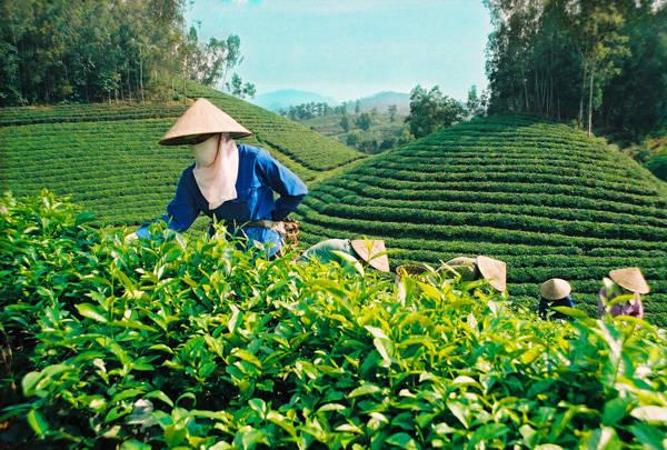 Đặc sản Thái Nguyên - chè Tân Cương - iVIVU.com