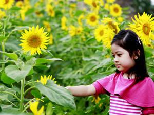 Du lịch Hà Nội - mùa hoa hướng dương - iVIVU.com