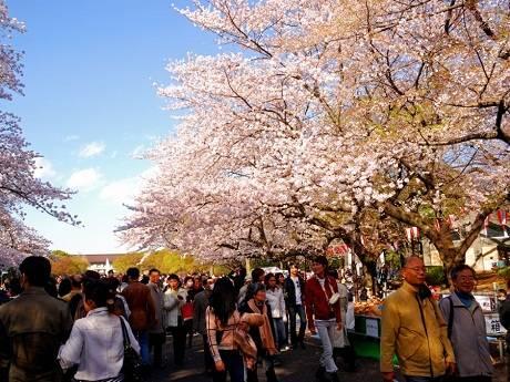 Du lịch Nhật Bản - Lễ hội hoa anh đào - iVIVU.com
