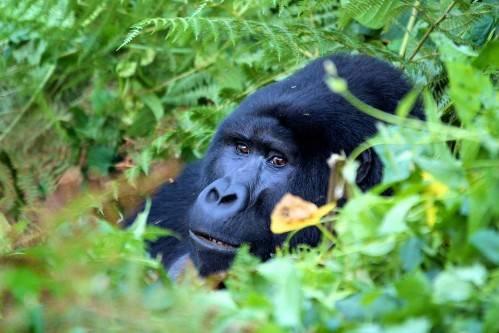Du lịch Uganda - Vườn quốc gia Bwindi Impenetrable - iVIVU.com