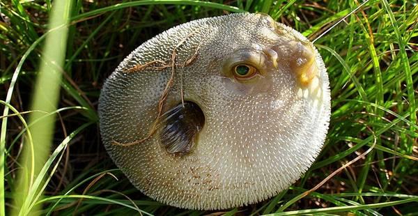Cá nóc tử thần - đặc sản Việt
