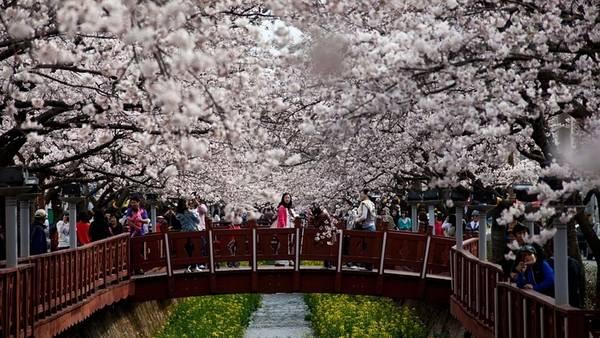 Seoul mùa hoa anh đào