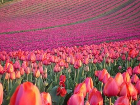 Du lịch Hà Lan - hoa tulip Keukenhof ở Lisse 2 - iVIVU.com