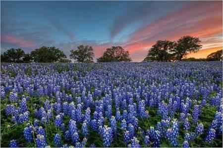 Du lịch Mỹ - hoa mũ len xanh ở Texas - iVIVU.com