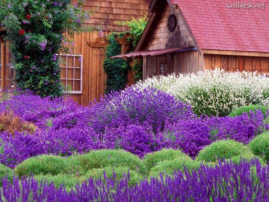 Du lịch Pháp - cánh đồng oải hương ở Provence - iVIVU.com