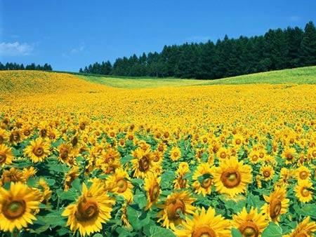 Du lịch Ý - cánh đồng hoa hướng dương ở Tuscany - iVIVU.com