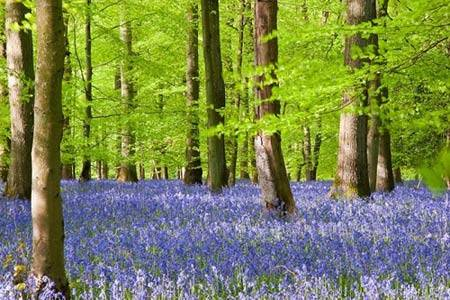 Du lịch Anh - cánh rừng hoa chuông xanh - iVIVU.com