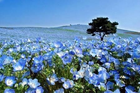 Du lịch Nhật Bản - Cánh đồng hoa Nemophila ở đảo Honshu - iVIVU.com