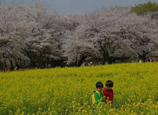 Du lịch Tokyo - Nhật Bản - Công viên Showwa Kinen - iVIVU.com