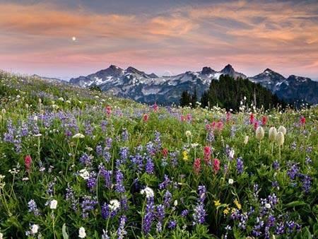 Du lịch Mỹ - Cánh đồng hoa dại ở Vườn Quốc gia Mount Rainier - iVIVU.com