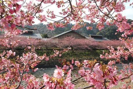 Sắc hoa anh đào nở rộ khắp Nhật Bản - Kawazu - ivivu.com