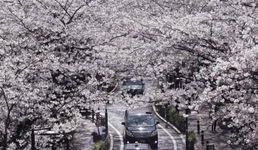 Sắc hoa anh đào nở rộ khắp Nhật Bản - Tokyo-1 - ivivu.com