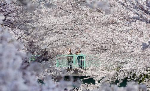 Sắc hoa anh đào nở rộ khắp Nhật Bản - Tokyo-3 - ivivu.com