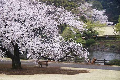 Sắc hoa anh đào nở rộ khắp Nhật Bản - Tokyo-4 - ivivu.com