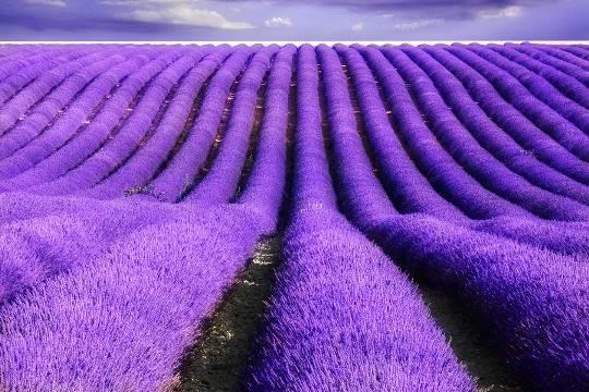 Province-Lavender-Fields