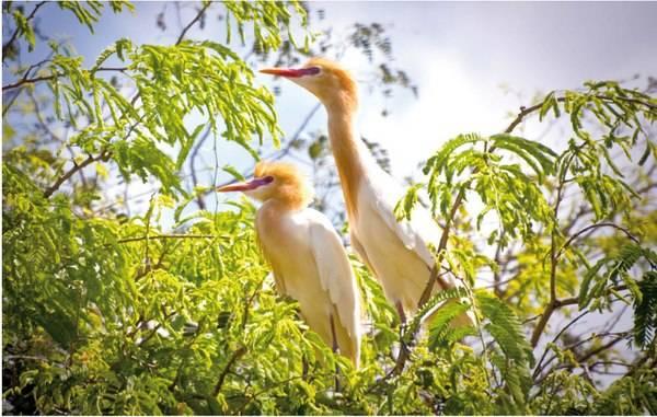 Đôi cò trong sân chim Vàm Hồ.