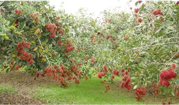 Vườn Chôm chôm đang vào mùa đỏ rực cà khoảng vườn.