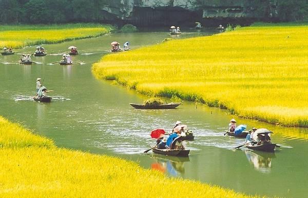 Những cánh đồng lúa chín vàng hai bên bờ sông tạo nên khung cảnh vô cùng thơ mộng.
