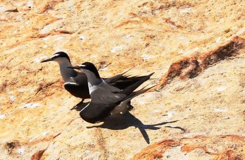 Khác với chim yến, hải âu chọn nơi sáng, nắng, gió để tự tình