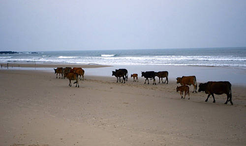 Đàn bò thủng thẳng đi về…