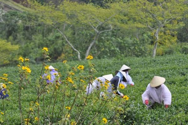 Hoa dã quỳ nở trên đồi chè