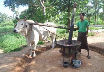 Cách chế biến dầu từ đậu phộng ở Bagan.