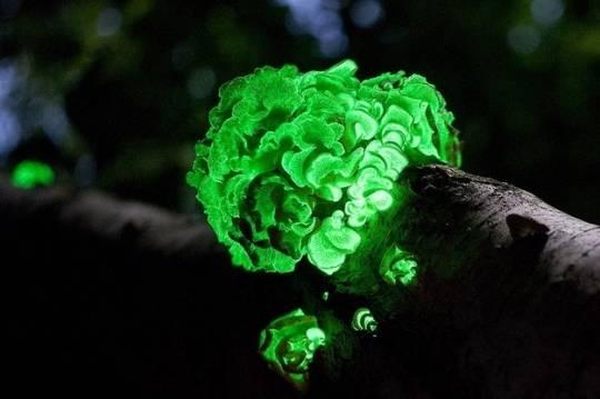 """2. Nấm phát sáng  Nấm phát sáng hay còn được gọi là """"đốm lửa cổ tích"""", đây là hiện tượng phát quang của một số loài nấm mọc trên thân gỗ mục nát."""