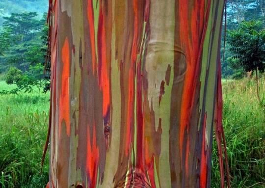 7. Cầu vồng vỏ cây  Vỏ cây bạch đàn thay đổi theo thời gian, tạo nên những màu sắc tựa cầu vồng.