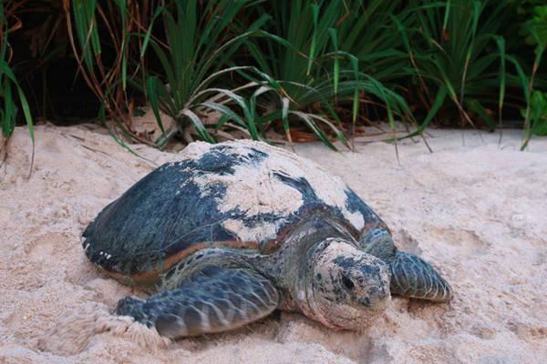 Côn Đảo là nơi lý tưởng để quan sát loài rùa đẻ trứng