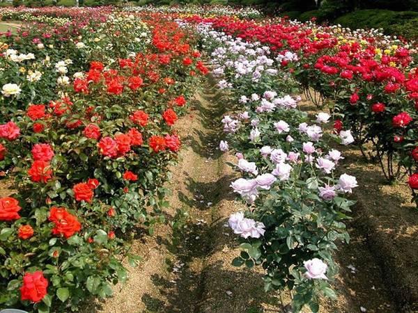 Làng hoa Vạn Thành là một trong sáu làng hoa truyền thống của thành phố, nơi trồng hoa hồng nhiều nhất tại Đà Lạt. Ảnh: Lan Anh