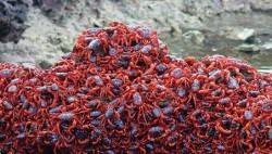 Cua đỏ trên đảo Christmas Island