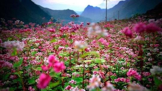 Mùa hoa tam giác mạch ở cung đường phượt Hà Giang