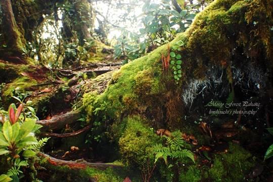 Rừng rêu ở cao nguyên Cameron