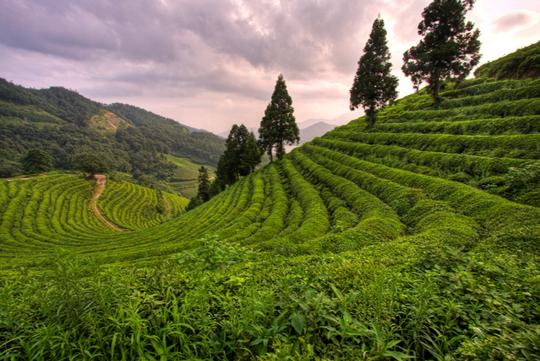Đồng trà Boseong