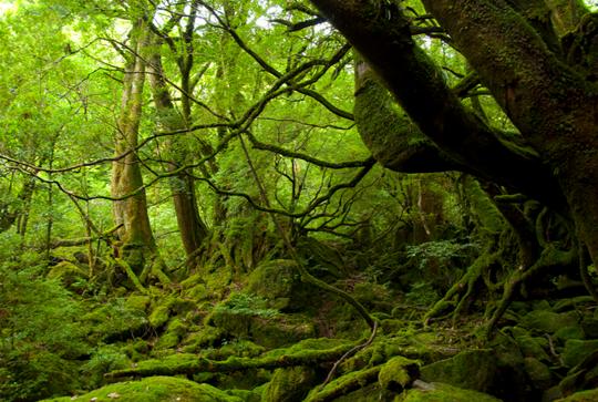 Rừng cổ ôn đới ở Yakushima