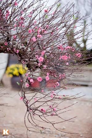 Dạo qua phường Nhật Tân, Hà Nội trong những ngày này, những vườn đào của các hộ dân nơi đây đã nở hoa khoe sắc đón xuân về.