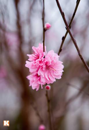 Còn hơn 20 ngày nữa là tới Tết Giáp Ngọ, rất nhiều gốc đào ở làng Nhật Tân (Hà Nội) nở hoa.