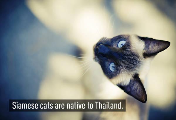 Mèo Xiêm (Siamese) được biết đến từ những năm 1880 tại Anh. Loài mèo này có nguồn gốc từ Thái Lan. Chúng có đặc điểm là mắt xanh dương, với  khuôn mặt đen và màu lông tro phổ biến, được chia làm 2 nhóm: mèo truyền thống và mèo hiện đại!