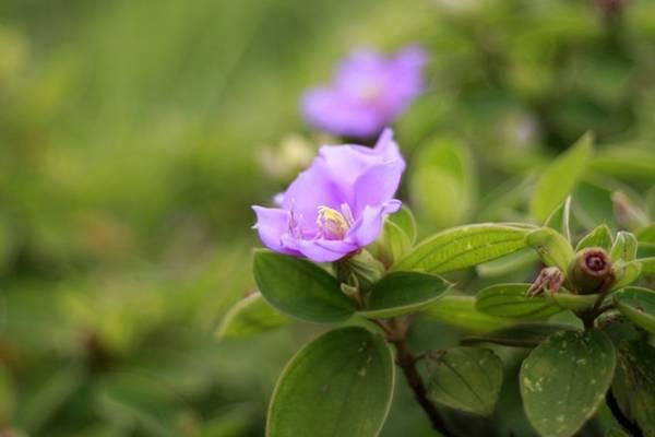 Đến Quan Lạn vào mùa hè, bạn sẽ được đi qua những con đường xanh thẳm lá và tím ngắt hoa sim.