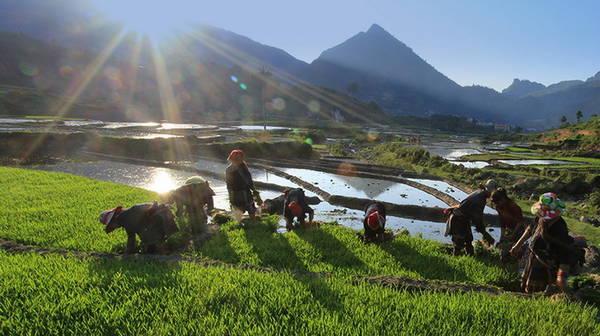 Người dân tộc Mông, Dao đang chuẩn bị mạ để gieo cấy.